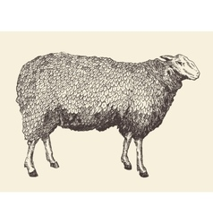 Sheep Intage of Engraving vector image