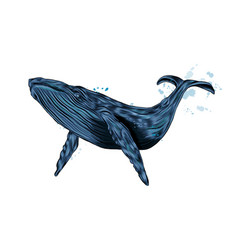 humpback whale blue whale from a splash of vector image