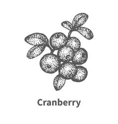 Sketch cranberry with leaves and branches vector
