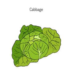 cabbage - garden plant vector image