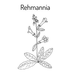 Rehmannia glutinosa herb of traditional chinese vector