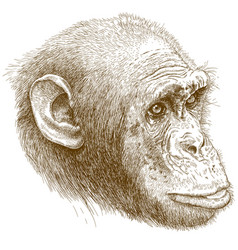 engraving of chimp muzzle vector image vector image