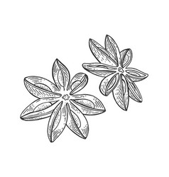 Anise illicium spice sketch engraving vector