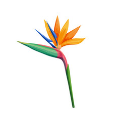 Strelitzia or bird of paradise vector