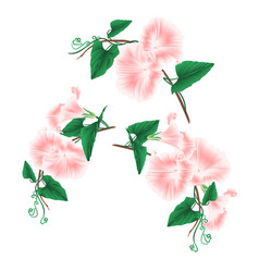 Morning glory pink spring flowers set vector