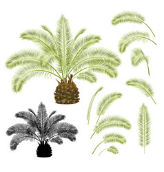 tropical plant palmae date palm and leaves vector image