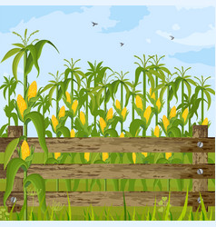 Corn field growing maize background summer vector