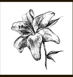Lily botanical vector