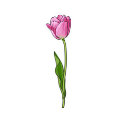 hand drawn of side view pink tulip flower vector image