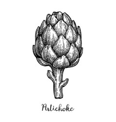 ink sketch of artichoke vector image