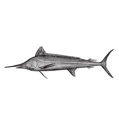 White marlin a sailfish vintage vector