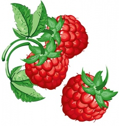 raspberry vector image