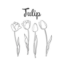 hand drawn set of side view black and white tulip vector image