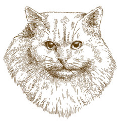 engraving of cat muzzle vector image