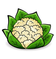 Cauliflower design drawing isolated vector