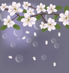 Cherry flowers card with waterdrops background for vector