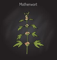 motherwort or leonurus cardiaca vector image