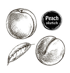 Peach sketch vector