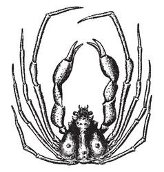 Scorpion spider crab vintage vector