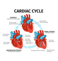 Heart anatomy flat infographics vector