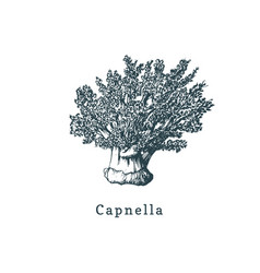 Capnella soft coral drawing of vector