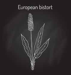 European bistort bistorta officinalis or vector