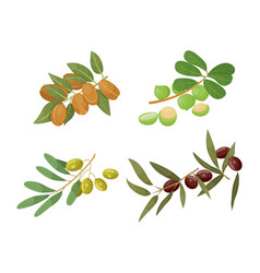 Castor and olive almond and macadamia branches vector