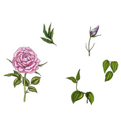 set with rose flower leaves bud and stems vector image