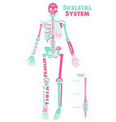skeletal system poster didactic board anatomy vector image