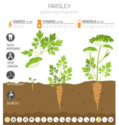 Parsley beneficial features graphic template vector