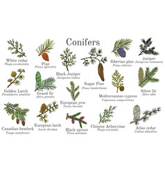 Set different conifiers branches with cones vector