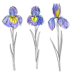 Drawing flowers of iris vector