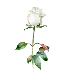 Single white rose isolated on white background vector