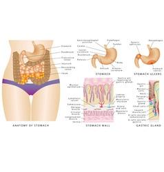 Stomach anatomy vector image
