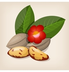 Brazil nuts with flowers and leaves vector image