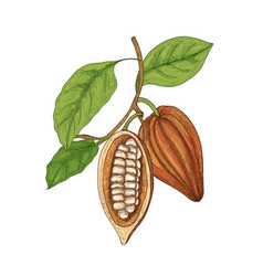 detailed botanical drawing of whole and cut ripe vector image