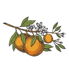 orange tree branch color sketch engraving vector image