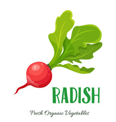Radish vegetable vector