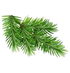 Green fluffy pine branch Isolated on white vector