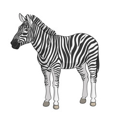 color image of a zebra vector image vector image
