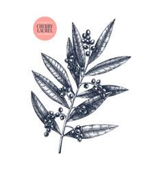 herry laurel evergreen tree with black ber vector image