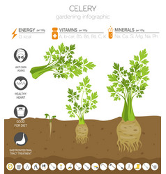 Celery beneficial features graphic template vector