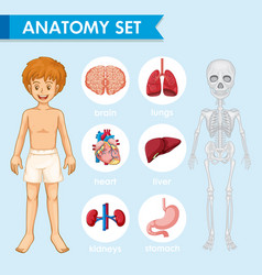 Scientific medical humn anatomy vector