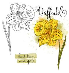 Botanical art watercolor daffodil flower vector