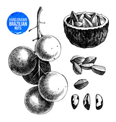 hand drawn brazil nuts vector image