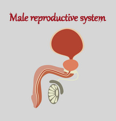 Human organ icon in flat style male reproductive vector
