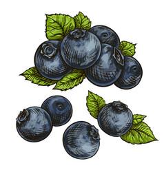 blueberries bilberry vector image