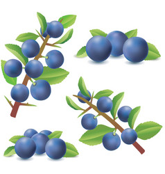 blackthorn or sloe berries prunus spinosa vector image