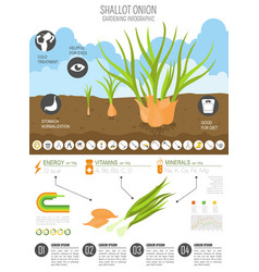 Shallot onion beneficial features graphic vector