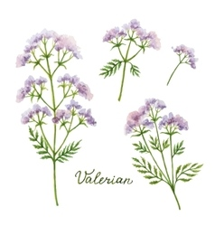 Watercolor of Valerian vector